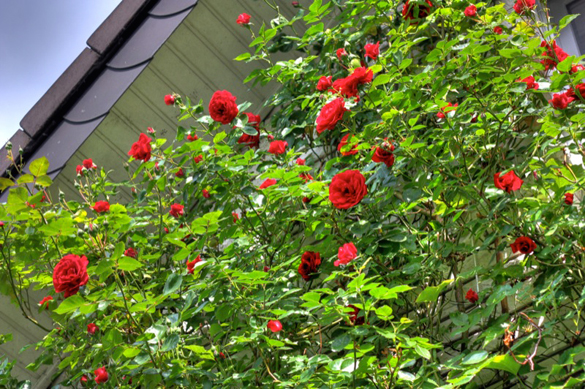 Rosen an einer Hauswand (HDR-Bild)