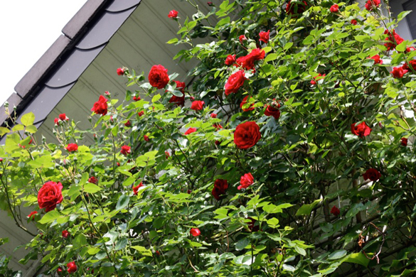 Rosen an einer Hauswand (normal belichtet)