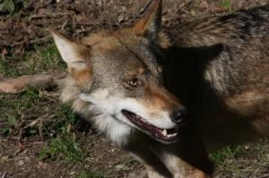 Wölfe im neuen/großen Gehege