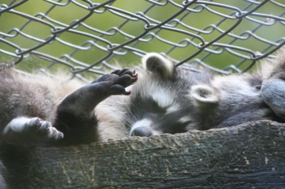 Waschbären in Olderdissen