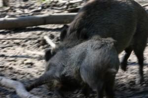 Wildschwein in Aktion