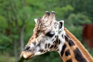 Giraffen / Afrika